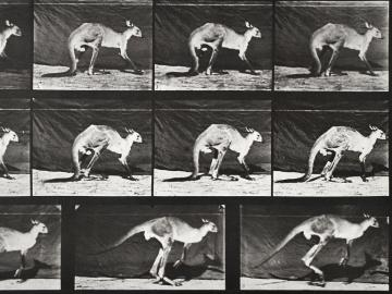 Kangaroo jumping, plate of Animal Locomotion