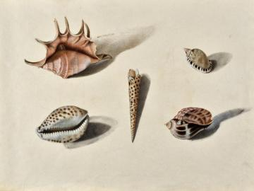 Study of shells after life (Lambis, Terebra areolata, Cypraea tigris,… )