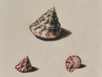 Sudies of Shells after life