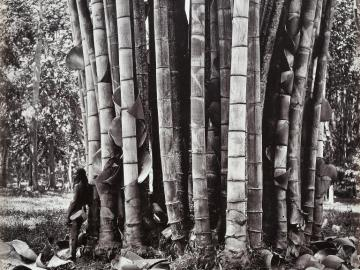 Bamboos at Botanical Garden of Peradeniya