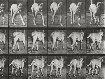 Walking dog, plate of Animal Locomotion