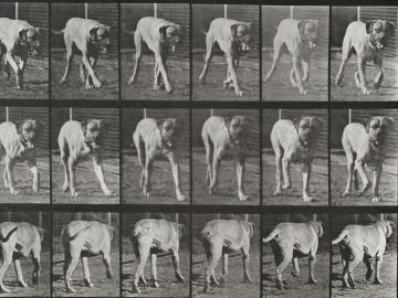 Marching dog, plate of Animal Locomotion