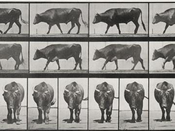 Marching Bull, plate of Animal Locomotion