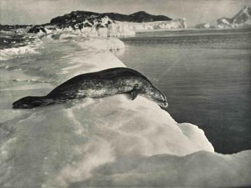 Weddell seal about to dive, Cape Evans